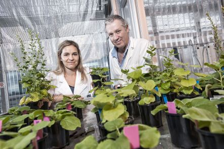 Native tobacco plant to transform genetic research
