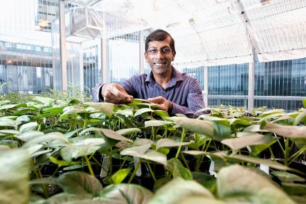 Resilient chickpea and mungbean plants