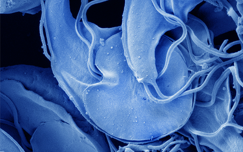 Giardia duodenalis trophozoites microscopy zoom background